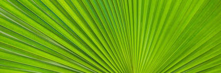 Green Footstool Palm Leaf through which the sun shines through. BANNER, long format