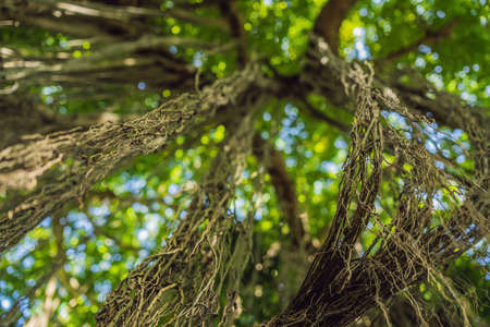 Rain forest in Ubud Sacred Monkey Forest, Bali.