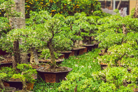 bonsai in honor of the Vietnamese new year. Lunar new year flower market. Chinese New Year. Tet. 免版税图像