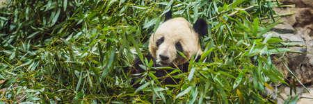 Giant panda Ailuropoda melanoleuca eating bamboo. Wildlife animal 免版税图像