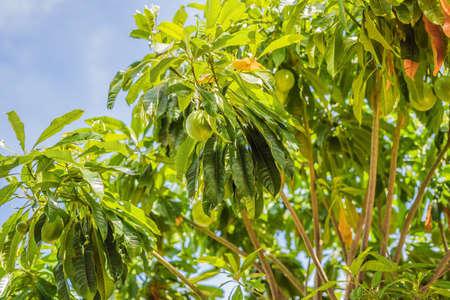 Bael fruit wooden apple on the tree