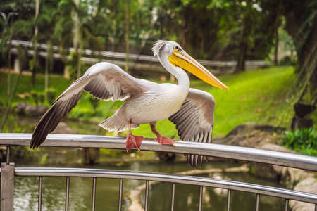 Great white pelican also known as the eastern white pelican, rosy pelican or white pelican Pelecanus onocrotalus