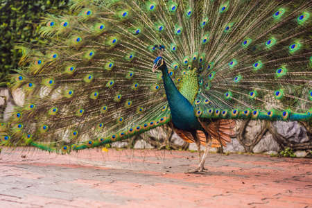 Portrait of a beautiful and colorful Blue Ribbon Peacock in full feather while it was trying to attract the attention of a nearby female