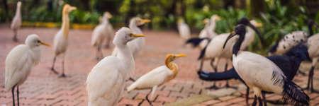 Little Egret Cattle egret Bubulcus ibis Waters Edge. BANNER, LONG FORMAT Imagens