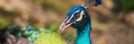 Portrait of a beautiful and colorful Blue Ribbon Peacock. BANNER, LONG FORMAT