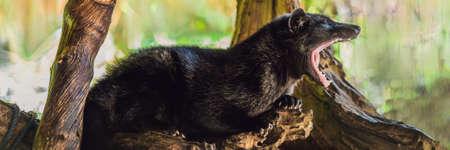 Asian Palm Civet produces Kopi luwak, Bali BANNER, long format Stock Photo
