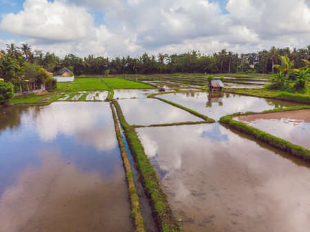 The rice fields are flooded with water. Flooded rice paddies. Agronomic methods of growing rice in the fields. Flooding the fields with water in which rice sown. View from drone 스톡 콘텐츠 - 122691638