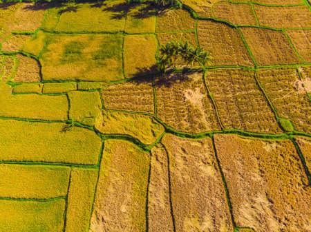Foto de un dron, cosecha de arroz por agricultores locales.
