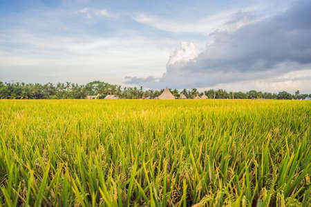 Rice field in sunrise time for background