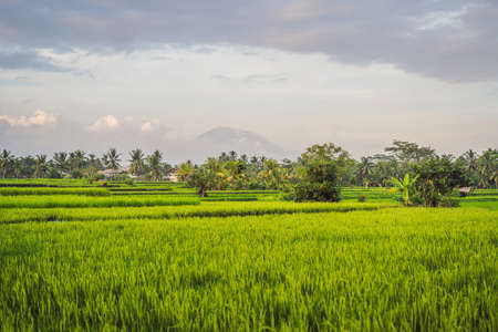 Krajobraz z zielonymi polami ryżowymi, palmami i wulkanem Agung w słoneczny dzień na wyspie Bali, Indonezja. Koncepcja przyrody i podróży