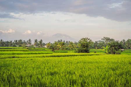 Landschaft mit grünen Reisfeldern, Palmen und Vulkan Agung am sonnigen Tag auf der Insel Bali, Indonesien. Natur- und Reisekonzept