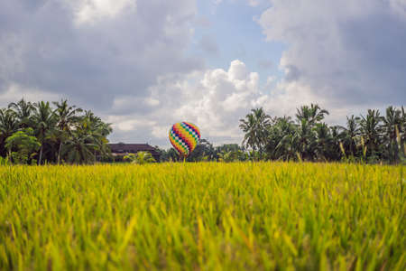 Hot air balloon over the green paddy field. Stok Fotoğraf