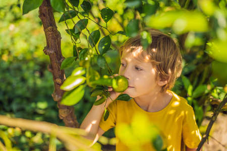 Cute boy in the garden collects tangerines