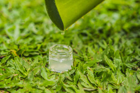 Transparent essence from aloe vera plant drips from leaves