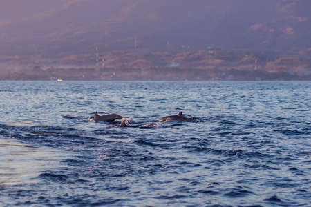 Free dolphins in the sea jump out of the water near the boat