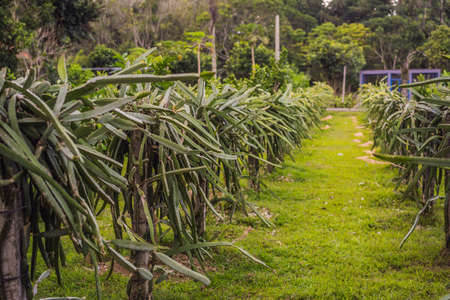 Dragon fruit plantation in a tropical garden.