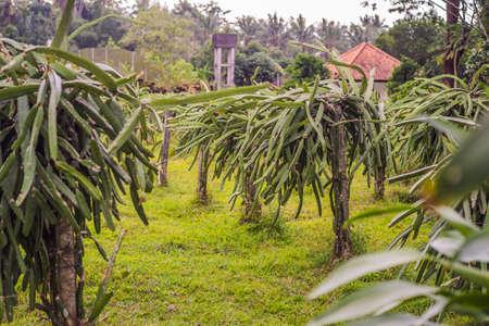 Dragon fruit plantation in a tropical garden.