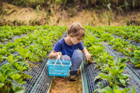 Little toddler boy on organic strawberry farm in summer, picking berries