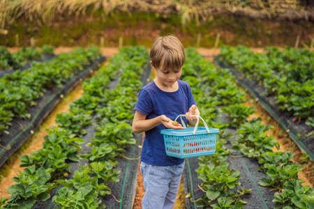Little toddler boy on organic strawberry farm in summer, picking berries.