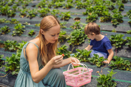 Mother and son toddler boy on organic strawberry farm in summer, picking berries