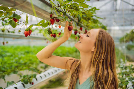 Woman picking strawberries at hydroponic farm in the greenhouse.