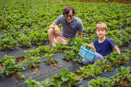 Father and son toddler boy on organic strawberry farm in summer, picking berries Stockfoto