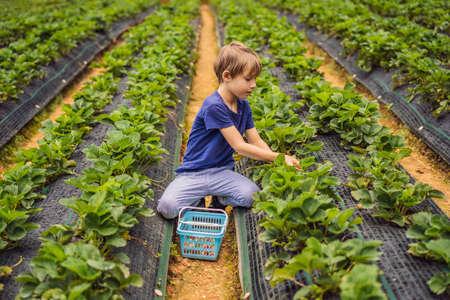 Little toddler boy on organic strawberry farm in summer, picking berries