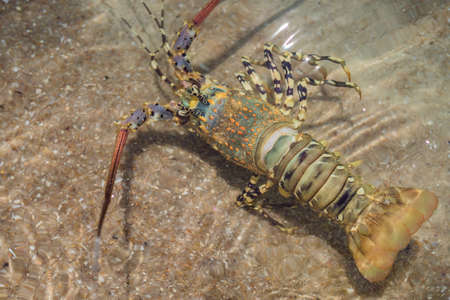 Spiny lobster inhabits tropical and subtropical waters