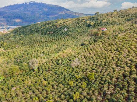 Aerial drone view of a green coffee field in Vietnam Banco de Imagens