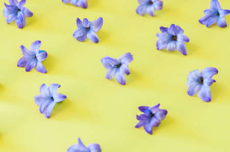 Violet petals of hyacinth flower on a yellow background.