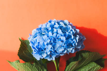 Top view of Hydrangea hortensia on a orange background.