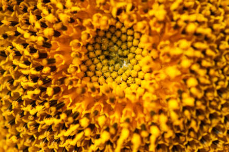 Close up yellow sunflower inflorescence, sacred geometry Imagens