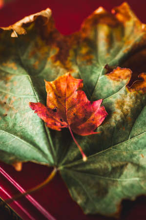 Green and  red autumn maple leaves on a book. 写真素材