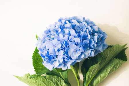 Hydrangea flower on a white colored background. Copy space. Top view.