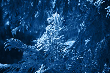 Close up of coniferales trees. Toned in blue color. Inspired by the color of the year 2020. Banco de Imagens