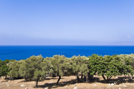 Olive tree garden on sea background  photo