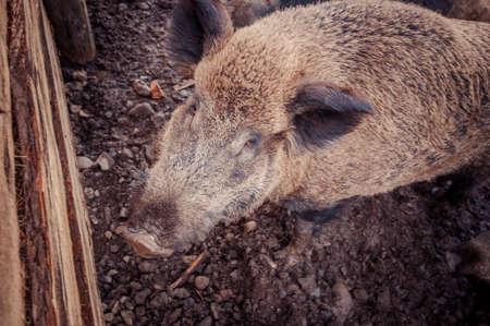 Domestic boars in the paddock