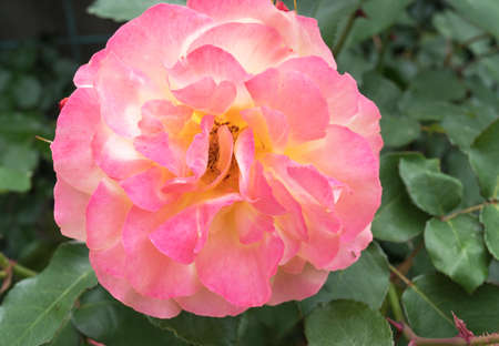 tenderness: Beautiful tender pink rose. Love and Tenderness concept