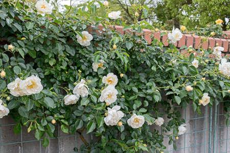 tender tenderness: Beautiful tender white rose in garden. Love and Tenderness concept