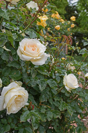 tenderness: Beautiful tender white rose in garden. Love and Tenderness concept