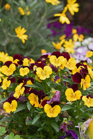 tenderness: Flower pansy purple yellow. Love and Tenderness concept