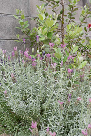 mediterranian houses: French Lavender. Beautiful garden with lavender, translucent