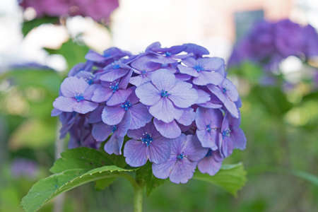 hydrangea macrophylla: Flowers of the season. Close-up of Hydrangea flowers Stock Photo