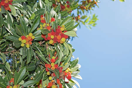 strawberry tree: Strawberry tree - arbutus unedo an evergreen with mature fruits Stock Photo