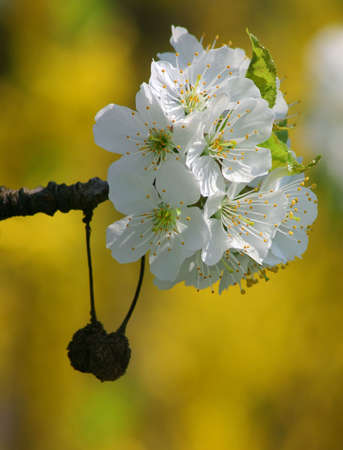 Spring flowering cherry tree Stock Photo - 4664372