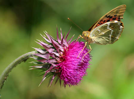 vested: The butterfly on the thistle flowers vested. Stock Photo