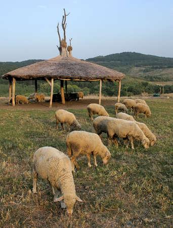 Sheep graze sheep in the house. Stock Photo - 4993753