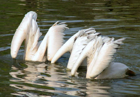 laughable: Three pelican fishes in the lake at once.