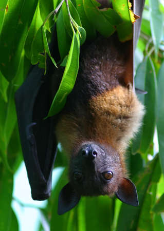 The flying fox resting upside down on a twig.