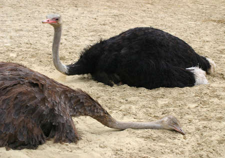 The ostrich is sleeping in the summer heat.